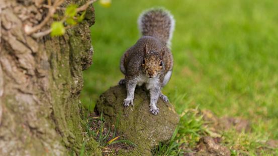 Gray Squirrel「Grey Squirrel on a rock.」:スマホ壁紙(4)