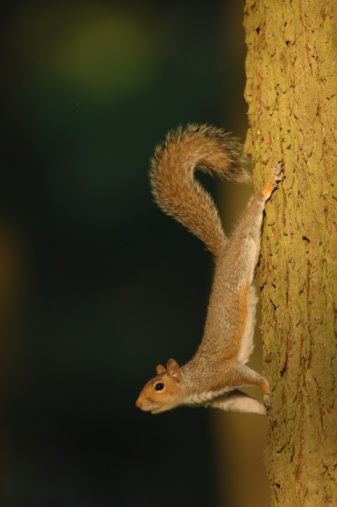Tree Squirrel「Grey squirrel (Sciurus carolinensis) descending tree, side view」:スマホ壁紙(14)