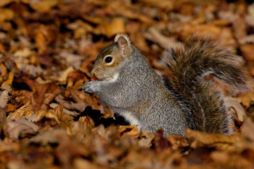 Gray Squirrel「Grey Squirrel (Sciurus carolinensis) in autumnal leaves」:スマホ壁紙(9)