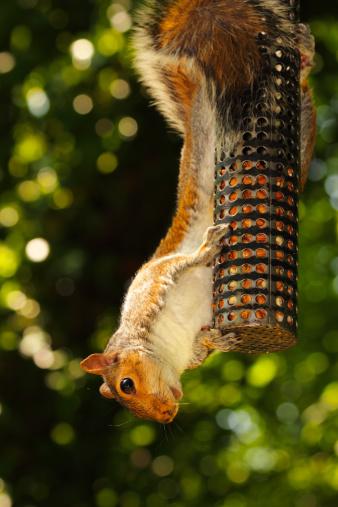 Gray Squirrel「Grey Squirrel hanging on bird feeder.」:スマホ壁紙(19)