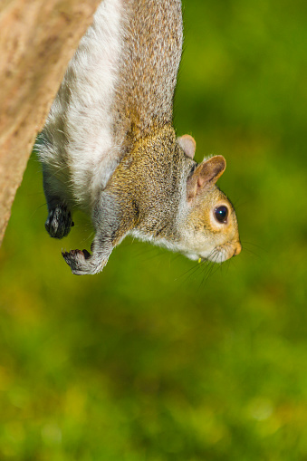 Gray Squirrel「Grey Squirrel coming down a tree」:スマホ壁紙(12)