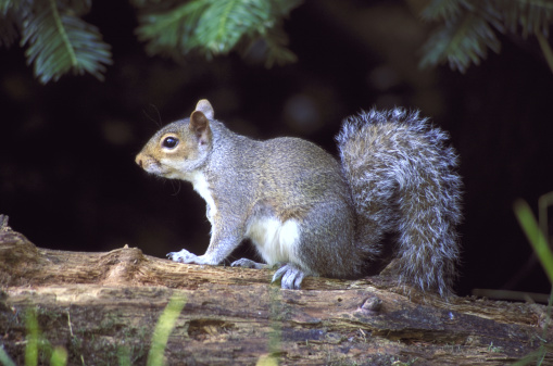 Tree Squirrel「grey squirrel sciurus carolinensis on log longleat, wiltshire」:スマホ壁紙(19)