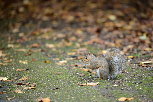 Gray Squirrel「Grey squirrel, Sciurus carolinensis, in autumn」:スマホ壁紙(13)