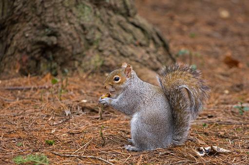 Gray Squirrel「Grey Squirrel, Sciurus carolinensis, feeding in Edinburgh Botanical Gardens UK」:スマホ壁紙(17)