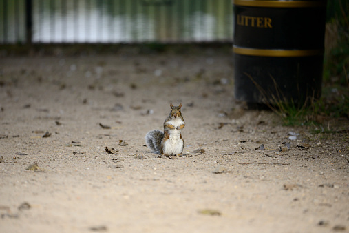 Squirrel「Grey squirrel, Sciurus carolinensis」:スマホ壁紙(0)