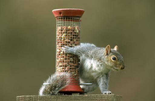 リス「grey squirrel sciurus carolinensis taking peanuts from bird feeder. mid-wales, uk」:スマホ壁紙(9)