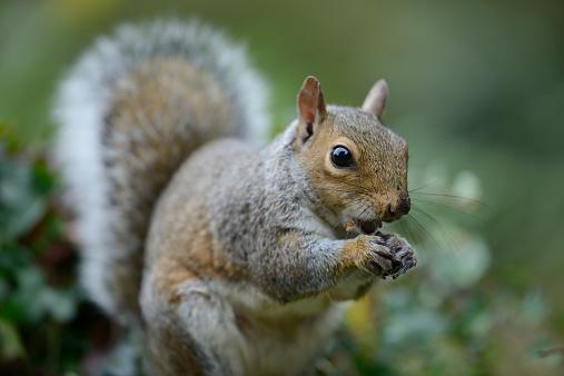 Gray Squirrel「Grey squirrel, Sciurus carolinensis, eating」:スマホ壁紙(1)