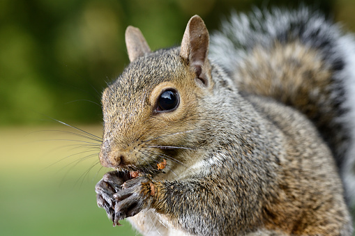 リス「Grey squirrel, Sciurus carolinensis, eating」:スマホ壁紙(11)