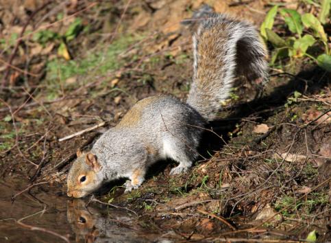 Gray Squirrel「Grey Squirrel  Sciurus carolinensis Thornley Woods Gateshead UK」:スマホ壁紙(17)