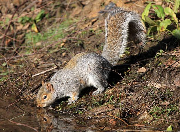 Grey Squirrel  Sciurus carolinensis Thornley Woods Gateshead UK:スマホ壁紙(壁紙.com)