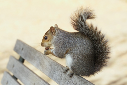 Gray Squirrel「Grey squirrel eating chestnut on park bench, close-up」:スマホ壁紙(17)