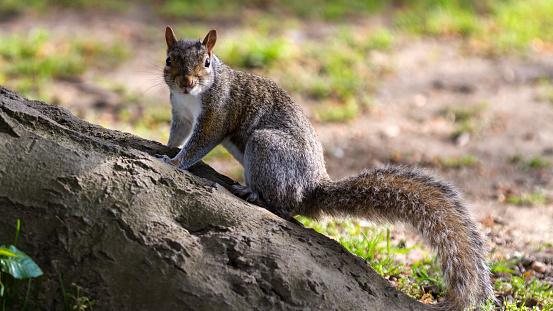 Gray Squirrel「Grey Squirrel on a fallen log.」:スマホ壁紙(2)