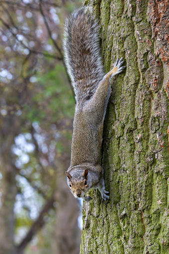 Gray Squirrel「Grey Squirrel coming down from the tree top.」:スマホ壁紙(11)
