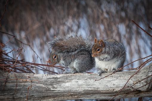 Gray Squirrel「Grey squirrels in winter.」:スマホ壁紙(9)