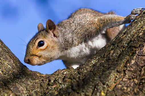 Gray Squirrel「Grey Squirrel smelling tree trunk」:スマホ壁紙(18)