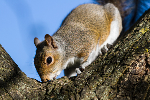 Gray Squirrel「Grey Squirrel smelling tree trunk」:スマホ壁紙(2)