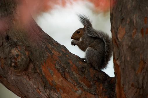 Gray Squirrel「Grey squirrel in tree」:スマホ壁紙(4)