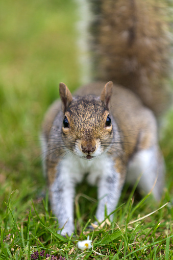 Gray Squirrel「Grey Squirrel」:スマホ壁紙(4)