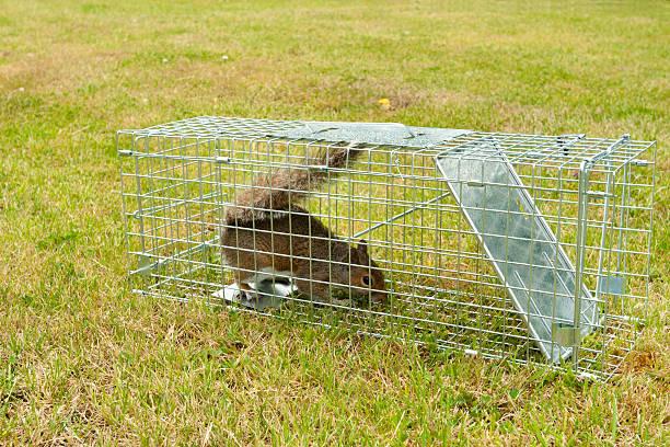Grey Squirrel rodent in a wire trap:スマホ壁紙(壁紙.com)