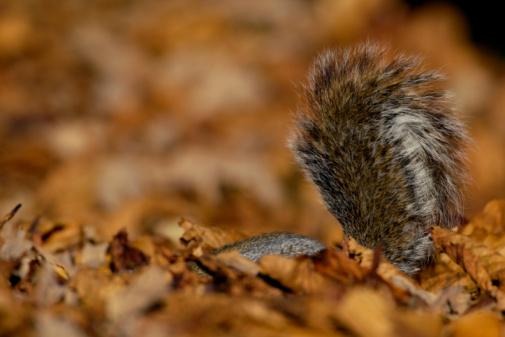Gray Squirrel「Grey Squirrel (Sciurus carolinensis) submerged in autumn leaves」:スマホ壁紙(8)