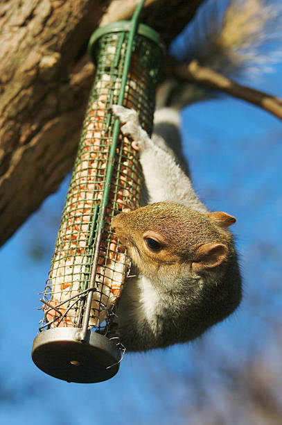Grey squirrel (Sciurus carolinensis) raiding bird feeder, close-up:スマホ壁紙(壁紙.com)