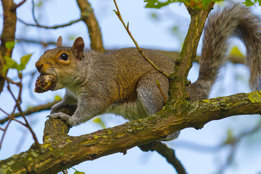 Gray Squirrel「Grey squirrel with tree nut in mouth.」:スマホ壁紙(15)