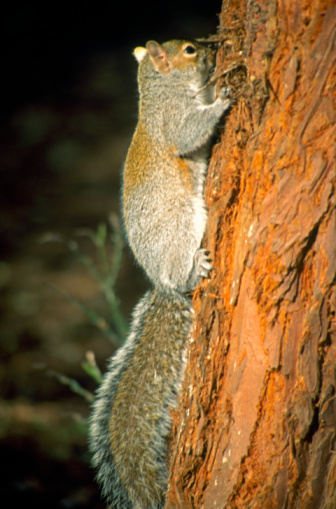 Gray Squirrel「Grey squirrel climbing pine tree in evening light」:スマホ壁紙(15)