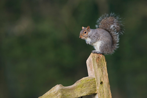 Gray Squirrel「Grey Squirrel on old gate, Norfolk」:スマホ壁紙(3)