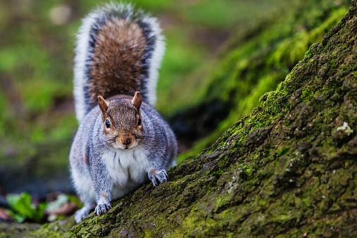 Gray Squirrel「Grey squirrel in an English forest」:スマホ壁紙(5)
