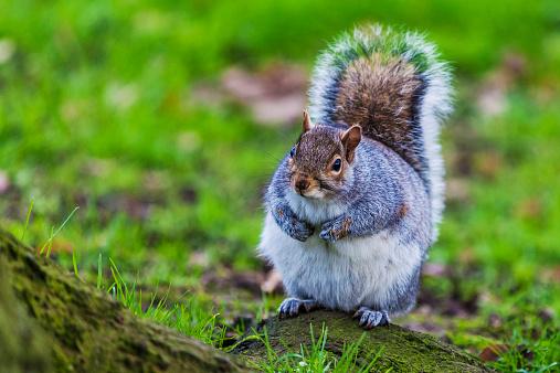 Gray Squirrel「Grey squirrel in an English forest」:スマホ壁紙(8)