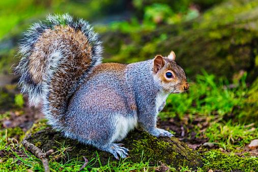 Gray Squirrel「Grey squirrel in an English forest」:スマホ壁紙(10)