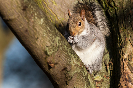 Gray Squirrel「Grey squirrel in an English forest」:スマホ壁紙(8)