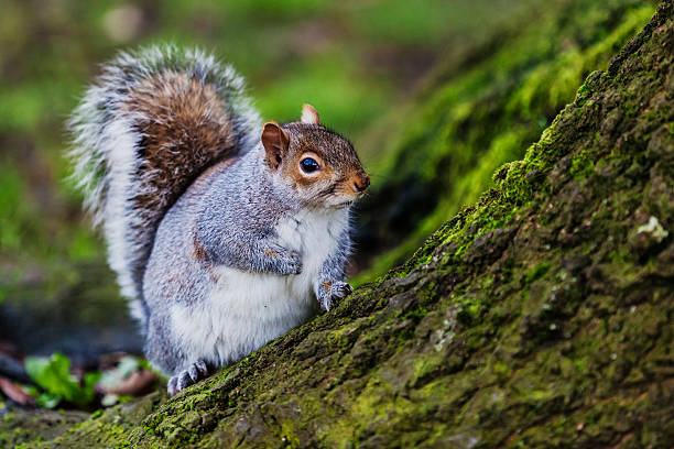 Grey squirrel in an English forest:スマホ壁紙(壁紙.com)
