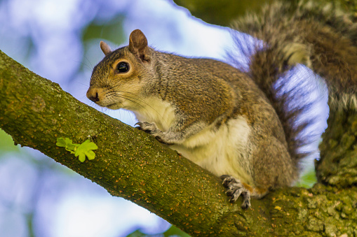 Gray Squirrel「Grey squirrel on a tree」:スマホ壁紙(7)