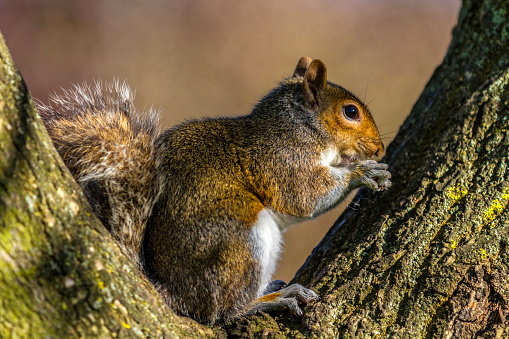 Gray Squirrel「Grey Squirrel on a tree」:スマホ壁紙(19)