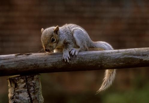 Squirrel「Grey Squirrel」:スマホ壁紙(13)