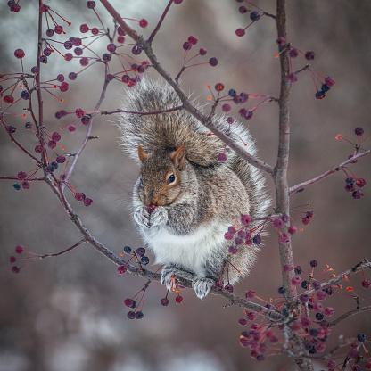 Gray Squirrel「Grey squirrel in winter.」:スマホ壁紙(5)