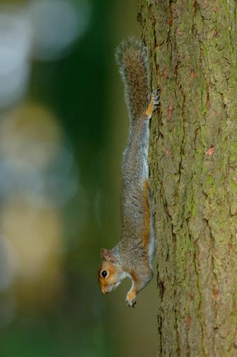 Gray Squirrel「Grey squirrel (Sciurus carolinensis) descending pine tree, close-up」:スマホ壁紙(10)
