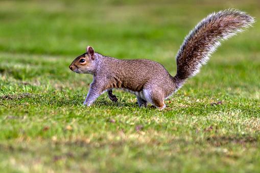 Gray Squirrel「Grey Squirrel walking to the trees.」:スマホ壁紙(4)