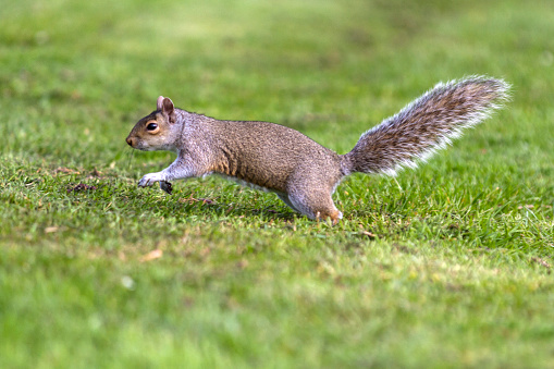 Gray Squirrel「Grey Squirrel running to tree」:スマホ壁紙(6)