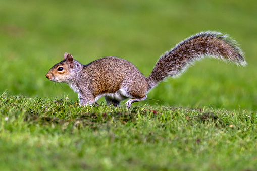 Gray Squirrel「Grey Squirrel running to tree」:スマホ壁紙(13)