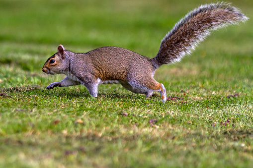 Gray Squirrel「Grey Squirrel running to tree」:スマホ壁紙(11)