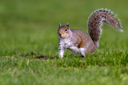 Gray Squirrel「Grey Squirrel running to tree」:スマホ壁紙(12)