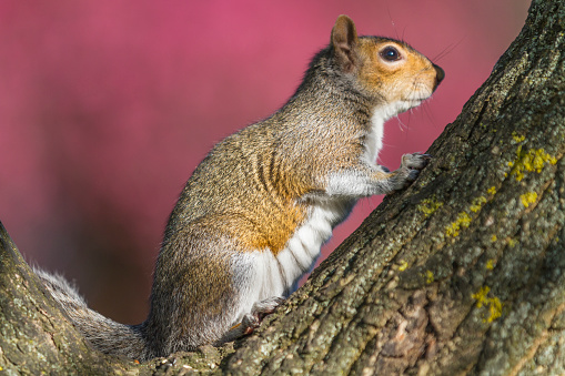 Tree Squirrel「Grey Squirrel scanning from a tree top」:スマホ壁紙(6)