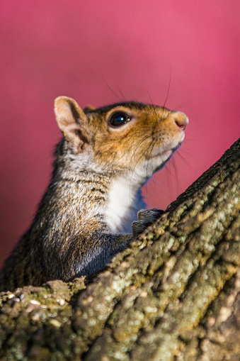 Gray Squirrel「Grey Squirrel scanning from a tree top」:スマホ壁紙(5)