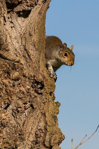 Gray Squirrel「Grey Squirrel scanning from a tree.」:スマホ壁紙(13)
