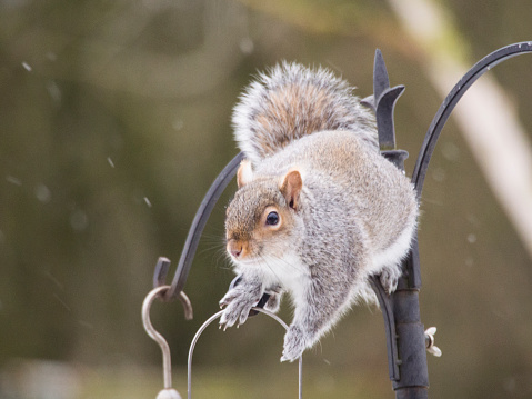 Gray Squirrel「A Grey Squirrel (Sciurus carolinensis) on a garden feeder in Clitheroe, Lancashire, UK」:スマホ壁紙(11)