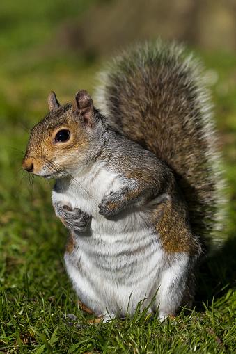 リス「Grey Squirrel」:スマホ壁紙(12)