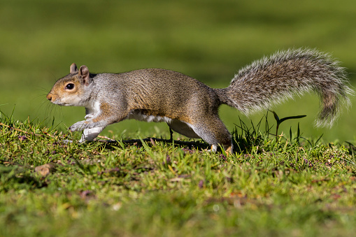Gray Squirrel「Grey Squirrel」:スマホ壁紙(7)