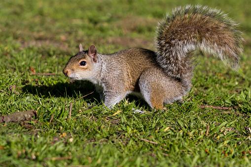 リス「Grey Squirrel」:スマホ壁紙(11)